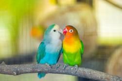 lovebird-kiss_35708-944.jpg